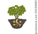 Potato plant, healthy organic food concept vector Illustration on a white background 49299885