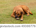 Cute dog in a various posture 49300776