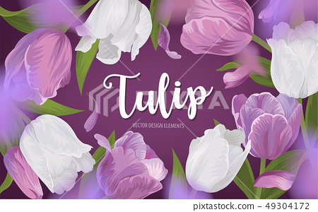 Blooming beautiful purple with white tulip flowers 49304172
