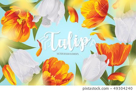 Blooming beautiful orange with white tulip flowers 49304240