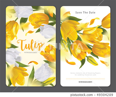 Blooming beautiful yellow with white tulip flowers 49304289