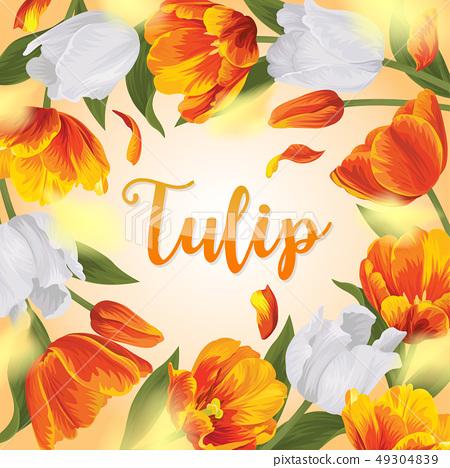 Blooming beautiful orange with white tulip flowers 49304839