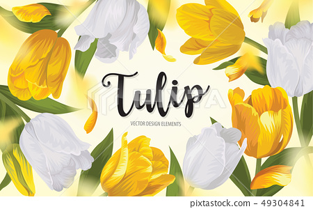 Blooming beautiful yellow with white tulip flowers 49304841
