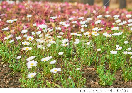 봄꽃 49308557