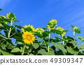한여름 _ 맑은 해바라기 밭 49309347