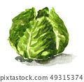蔬菜 甘藍 包菜 49315374