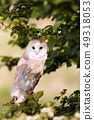 Close up of Barn Owl perching in the tree 49318053