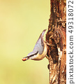 Eurasian Nuthatch with a peanut in the beak 49318072