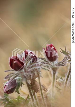 할미꽃 봄꽃 꽃 49321788