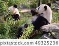 Giant panda family eating bamboo 49325236