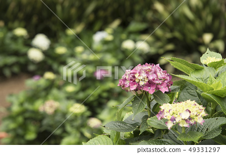 陽明山繡球花季 49331297