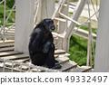 침팬지 49332497