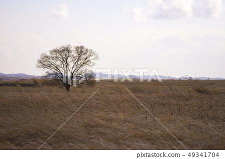 갈대 밭의 외로운 나무 2 49341704