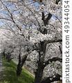 佐保川 따라 벚꽃 49344054