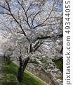 佐保川 따라 벚꽃 49344055