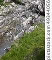 佐保川 따라 벚꽃 49344056