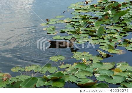 청둥오리,호수공원,일산,고양시,경기도 49356075