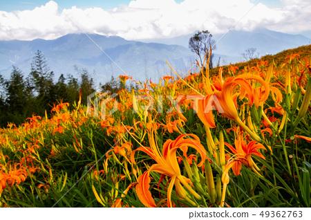 台灣花蓮富里六十石山金針花海Asia Taiwan Hualien Mountains 49362763