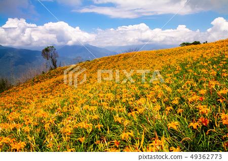 台灣花蓮富里六十石山金針花海Asia Taiwan Hualien Mountains 49362773