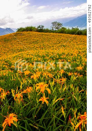 台灣花蓮富里六十石山金針花海Asia Taiwan Hualien Mountains 49362792
