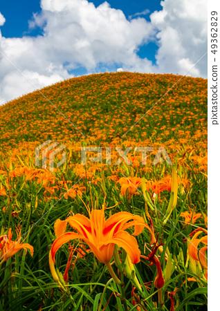 台灣花蓮富里六十石山金針花海Asia Taiwan Hualien Mountains 49362829