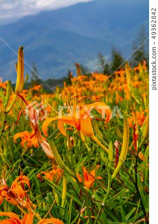 台灣花蓮富里六十石山金針花海Asia Taiwan Hualien Mountains 49362842