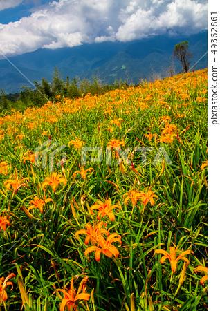 台灣花蓮富里六十石山金針花海Asia Taiwan Hualien Mountains 49362861