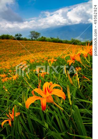 台灣花蓮富里六十石山金針花海Asia Taiwan Hualien Mountains 49362924
