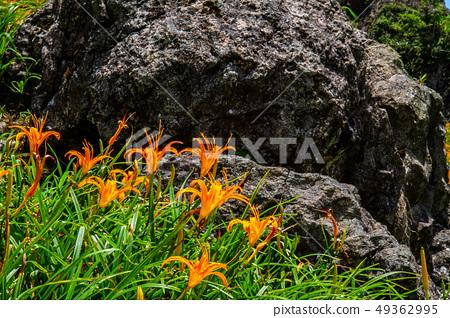 台灣花蓮富里六十石山金針花海Asia Taiwan Hualien Mountains 49362995