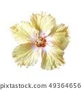 Orange hibiscus flower isolated on white backgroun 49364656
