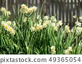 Daffodil 49365054