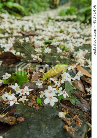 白色油桐花, 五月雪, 客家桐花季,木油桐花 49371406
