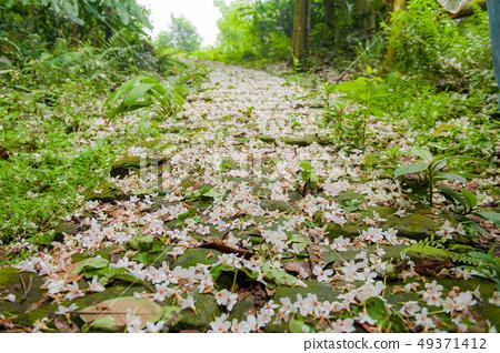 白色油桐花, 五月雪, 客家桐花季,木油桐花 49371412