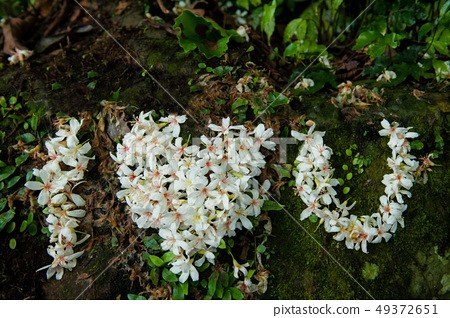 我愛你,白色油桐花, 五月雪, 客家桐花季,木油桐花 49372651