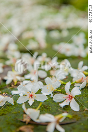 白色油桐花, 五月雪, 客家桐花季,木油桐花 49372712