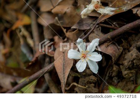 白色油桐花, 五月雪, 客家桐花季,木油桐花 49372718