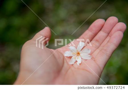 手心上的油桐花,白色油桐花, 五月雪, 客家桐花季,木油桐花 49372724