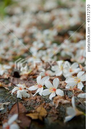 白色油桐花, 五月雪, 客家桐花季,木油桐花 49372730