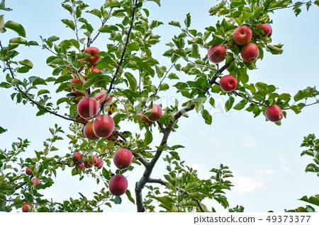 과수원의 사과나무 49373377