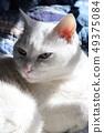 白猫 49375084