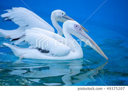 白cor鳥動物水池塘池塘舌頭游泳白鵜鶘游泳鵜鶘 49375207