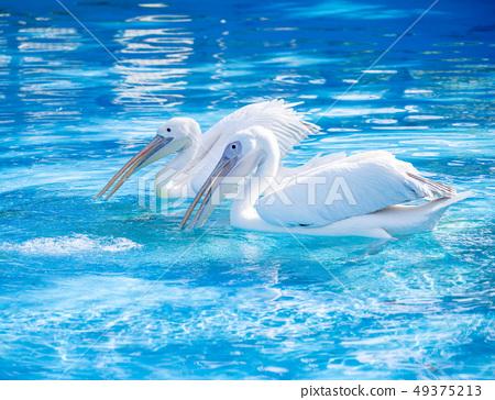 白cor鳥動物水池塘池塘舌頭游泳白鵜鶘游泳鵜鶘 49375213