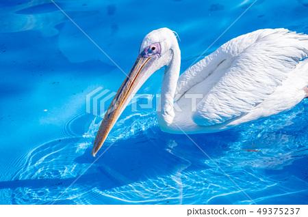 白cor鳥動物水池塘池塘舌頭游泳白鵜鶘游泳鵜鶘 49375237