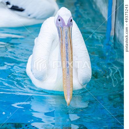 白cor鳥動物水池塘池塘舌頭游泳白鵜鶘游泳鵜鶘 49375243