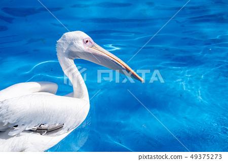 白cor鳥動物水池塘池塘舌頭游泳白鵜鶘游泳鵜鶘 49375273