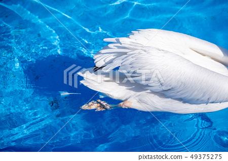 白cor鳥動物水池塘池塘舌頭游泳白鵜鶘游泳鵜鶘 49375275