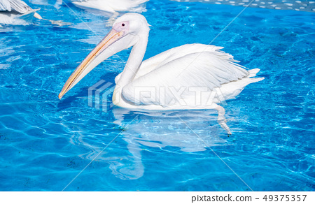 白cor鳥動物水池塘池塘舌頭游泳白鵜鶘游泳鵜鶘 49375357