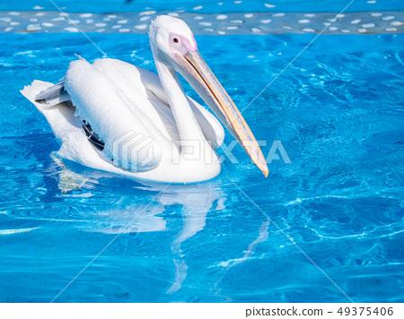 白cor鳥動物水池塘池塘舌頭游泳白鵜鶘游泳鵜鶘 49375406