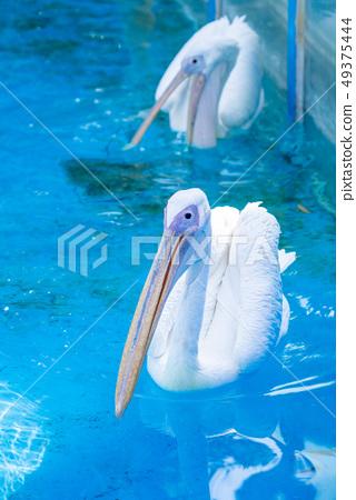 白cor鳥動物水池塘池塘舌頭游泳白鵜鶘游泳鵜鶘 49375444