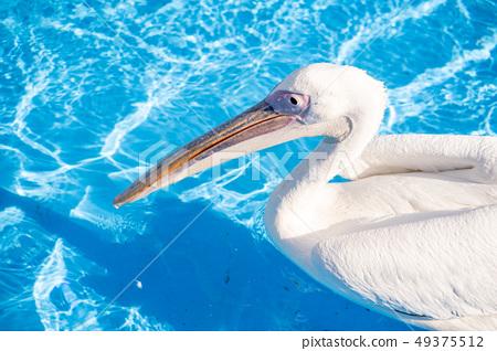 白cor鳥動物水池塘池塘舌頭游泳白鵜鶘游泳鵜鶘 49375512